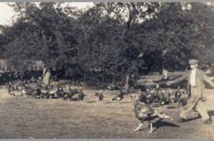Photo of Everett Jarvis rounding up turkeys