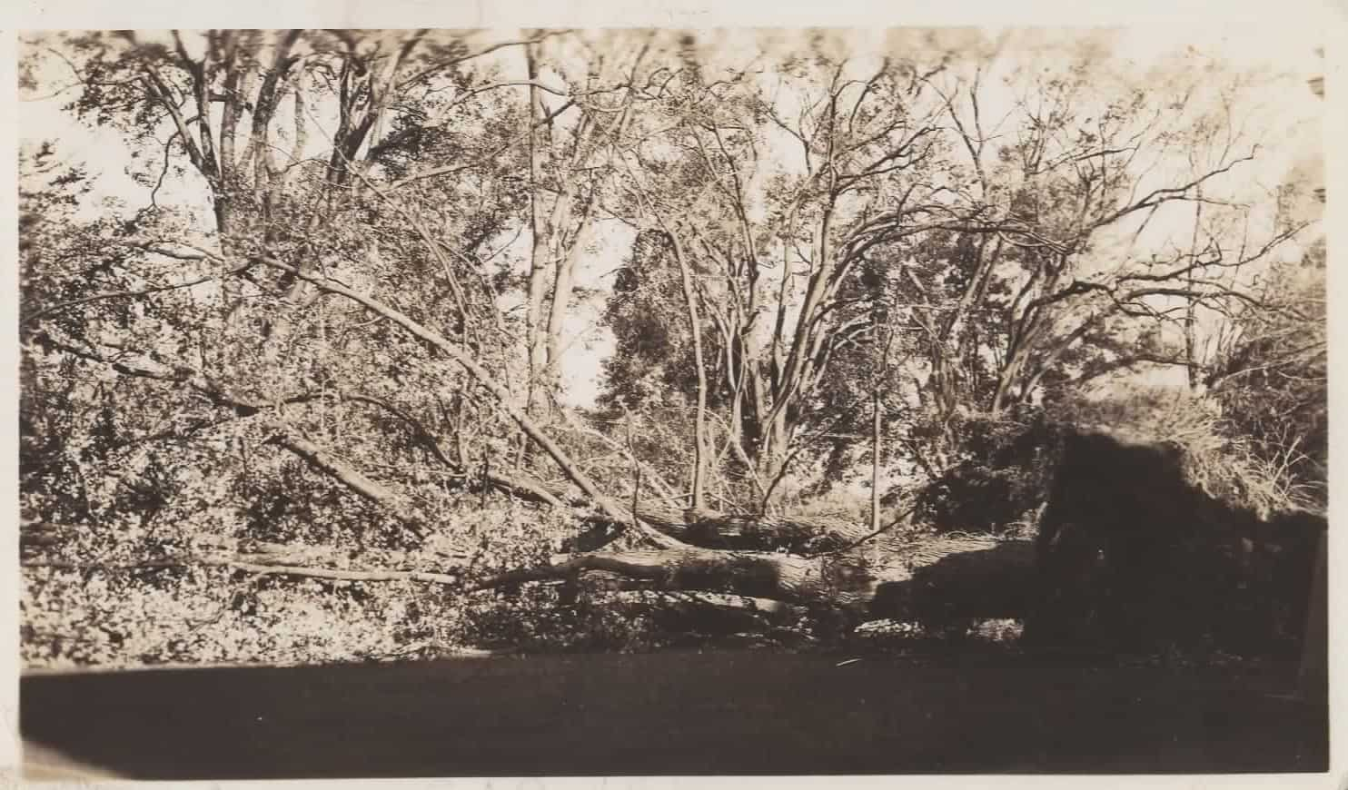 Big maple tree down